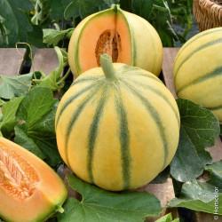 melon lisse