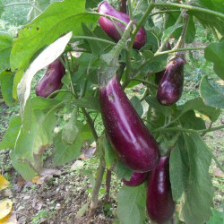 aubergine greffe Gascone...