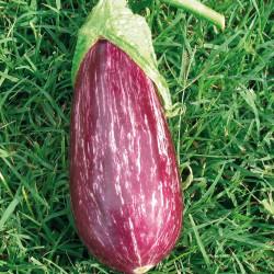 Aubergine greffe violette...
