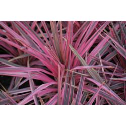 cordyline australis...