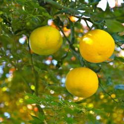 citronnier yuzu en 6l