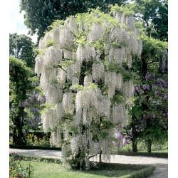 Glycine floribunda...