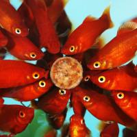 Nourriture et soins des poissons